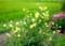 稲穂に似合う、「オオマツヨイグサ(大待宵草)」。(28.8.11)