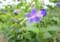 つくりが面白い「カリガネソウ(雁金草)」の花。(28.8.11)