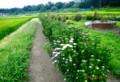 咲き始めた盆花・アスターの群生。(28.8.15)