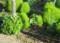 「ホウキグサ(箒草)・コキア」は、いっそう緑色に…。(28.8.17)