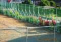 「ハゲイトウ(葉鶏頭)」、「百日草」が「ゆく夏」を演出。(28.8.17)