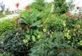 見頃の「カンナ・ダリア)園。(28,8,19)