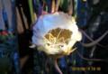 開花が確実な「ゲッカビジン(月花美人)」の蕾。(28.8.19)