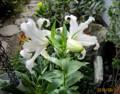 玄関先の「カサブランカ・ユリ」の花。(28.8.21)