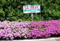 公民館活動の「ペチュニア」プランター花壇。(28.8.21)