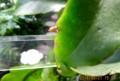 今年3度目、「ゲッカビジン(月花美人」の花芽。(28,8)