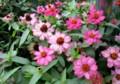「Z.プロフュージョン」の花。(228.8.22)