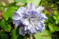 挿し木が活着、開花、薄紫の八重咲き。(28..8.23)