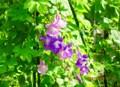 グリーンカーテン・「アサリナ」、微妙な花色の違い。(28.8.24)