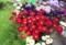 「アスター」の花束つくり。(28.8.24)