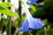 「ヘヴンリーブルー」朝顔が雨に打たれて。(28.8.27)