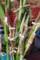 「ジェムコーン」を収穫。(28.8.28)