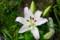 雨粒に濡れる、「ピンクカサブランカ」の花。(28.8.30)