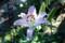 清らかに咲く「ピンクカサブランカ」の花。(28.8.31)