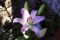 清らかに咲く、「ピンクカサブランカ」の花。(28.8.31)