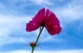 造化の妙、「変わり咲きコスモス」。(28.9.1)