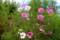 「ひろば」の「佐久市の花」・「コスモス」。(28.9.1)