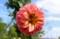 ハナムグリも居る「ダリア」。(28.9.1)