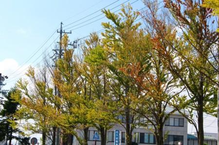 駒場公園、色が変わった「カツラ(桂)」の葉。(28.9.2)