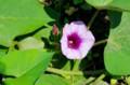 種子ができるかな、薩摩芋の花。(28.9.3)