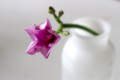 「薩摩芋」の花・蕾。(28.9.4)