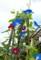 支柱の頂上に達して咲く、「アサガオ(朝顔)」。(28.9.4)