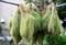 乾燥中の「ホウキグサ(箒草)・コキア」(28.9.5)