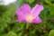 「ハマナス(浜茄子)」の花。(28.9.6)