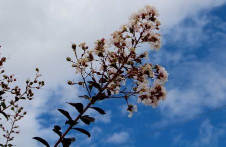 白色の「サルスベリ(百日紅)」。(28.9.6)
