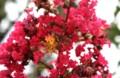 びっしり着いた、サルスベリの花。(28.8.6)
