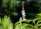 咲き始めた、「シモバシラ(霜柱)」の花。(28.9.7)