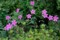 曇り空で綺麗な「アサマフウロ(浅間風露)」の花。(28.9.7)