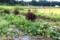 掘り上げ前の「薩摩芋」畑。(28.9.10)