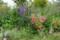 秋にも咲いた、「ラプンクロイデス・旗竿桔梗」。(28.9.12)