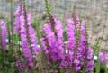 咲き始めた「カクトラノオ(角虎の尾)」の花。(28.9.21)
