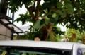 軽トラの屋根に乗った「柿の実」。(28.9.25)