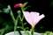 ほんのりピンクに染まった「ツキミソウ(月見草)」の花。(28.9.27)