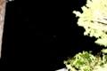 東の空にちょこんと、「八月二十八日」のお月さま。(28.9.28)(5:04)