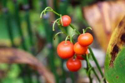 赤い実が目立つ「ドイツスズラン(鈴蘭)」。(28.9.29)
