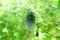 大活躍した「ゴーヤ・グリーンカーテン」。(28.9.29)