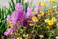 秋花壇を彩る、「ジニア」や「ハナ(カク)トラノオ」の花。(28.9.30)