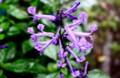 「プレクトランサス・モナ・ラベンダー」の花。(28.10)