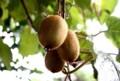 「キウイフルーツ」の実も完熟…。(28.10.1)