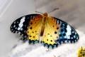 孫娘が捕った「ツマグロヒョウモン」蝶。(28.10.3)