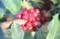 実が赤く熟した「アキグミ(秋茱萸)」(28.10.9)