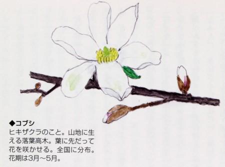 挿絵「ひきざくら」(細川律子)