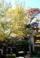 「紅(黃)葉」が進む。図書館周りの植え込み。(28.10.18)