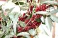「秋茱萸」の実は、食後のデザートに…。
