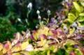 「キキョウ(桔梗)」の黄葉が、秋の風情を演出。(28.10.20)