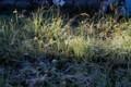 霜の草原に、朝日が差して…。(28.10.25)(7:16)
